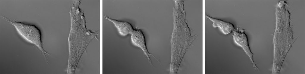Helen Pynor,The End is a Distant Memory (detail), 2016. Video stills (time-lapse microscopy of chicken fibroblast cells).