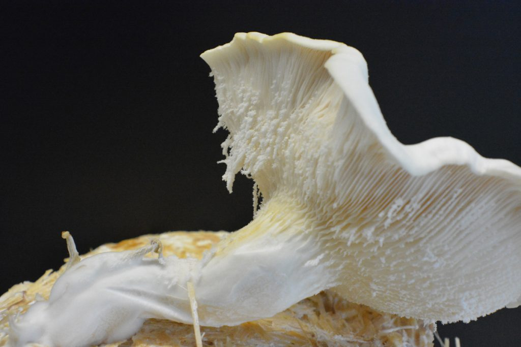 Jiann Hughes, Oyster Mushrooms flourishing with MOFs (metal organic frameworks). Image courtesy the artist.