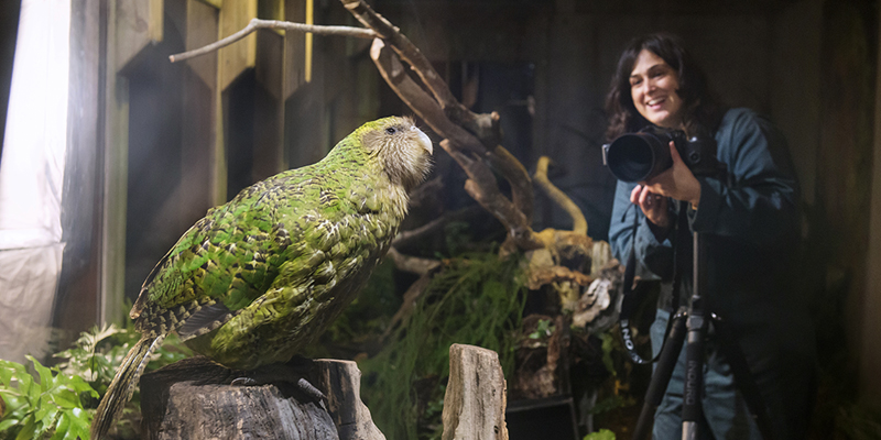 Lelia Jeffreys Sirocco Kakapo New Zealand, a woman in the background of a darkened room, photographs a green parrot.